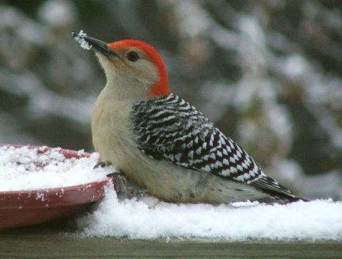 real woodpecker
