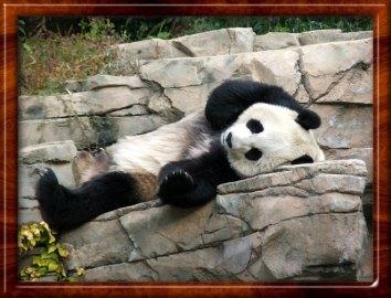Panda lounging